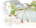 Sakura1m_1
